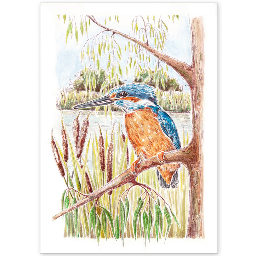 Kingfisher on the Norfolk Broads